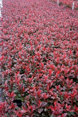 Photinia Fire Fantasy flower image