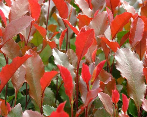 Photinia Fire Fantasy foliage