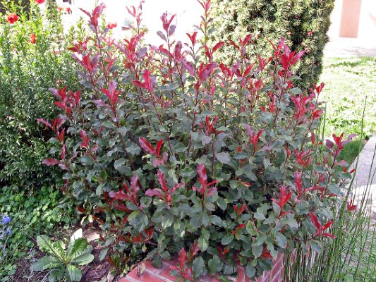 Photinia Fire Fantasy in garden