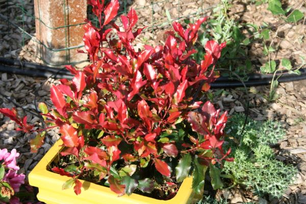 Photinia Fire Fantasy on patio