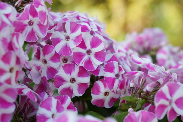 Phlox Bambini® Candy Crush flower close-up