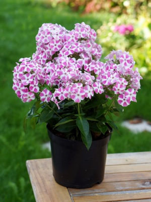 Phlox Bambini® Candy Crush in pot