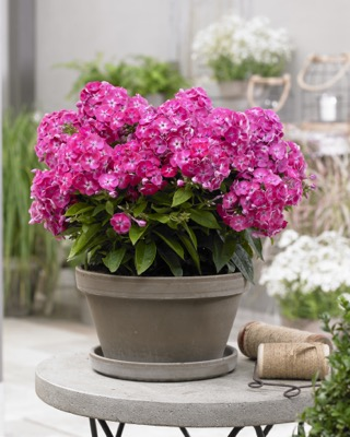 Phlox Bambini® Sweet Tart on patio