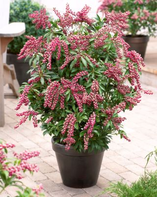 Pieris Passion Party™ 'Passion' in pot