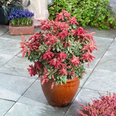 Pieris Passion Party™ Passion Frost on patio