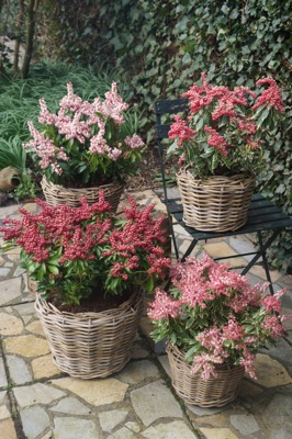 General image of Pieris Passion Party™ Pink Frost