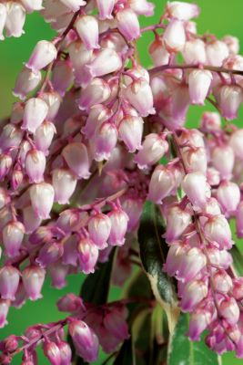 Pieris Passion Party™ Pink Frost flower close-up