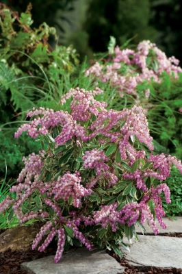 Pieris Passion Party™ Pink Frost in garden