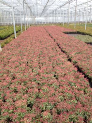 Pieris Passion Party™ Pink Frost with nursery
