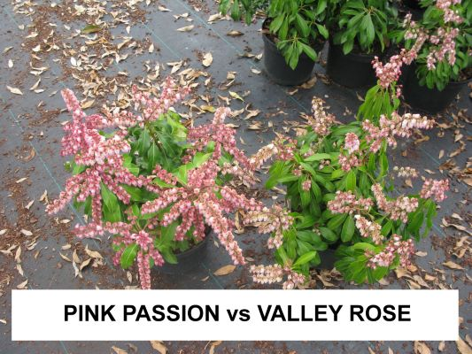 General image of Pieris Passion Party™ 'Pink Passion'