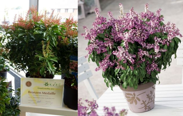 Medals earned by Pieris Passion Party™ 'Pink Passion'
