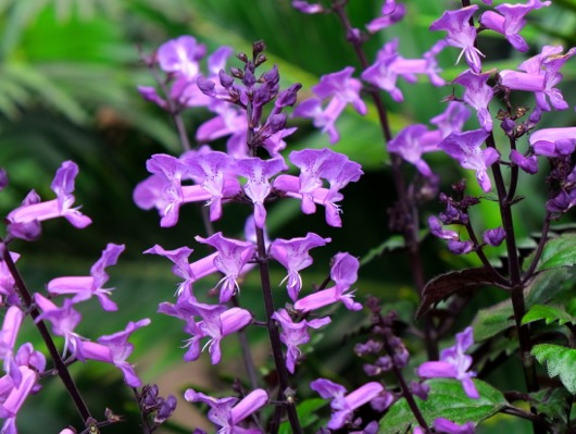 Plectranthus Magic Mona Purple flower image