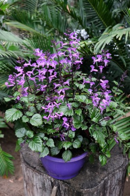 Plectranthus Magic Mona Purple in pot
