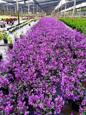 Plectranthus Magic Mona Purple with nursery