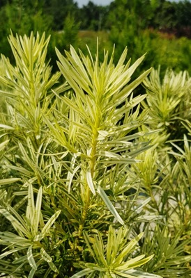 Podocarpus Roman Candle foliage close-up