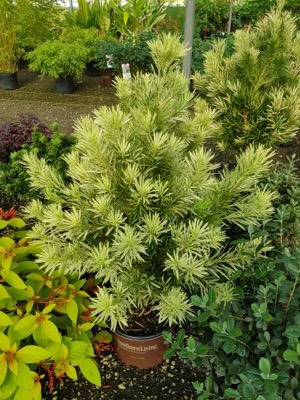 Podocarpus Roman Candle with nursery