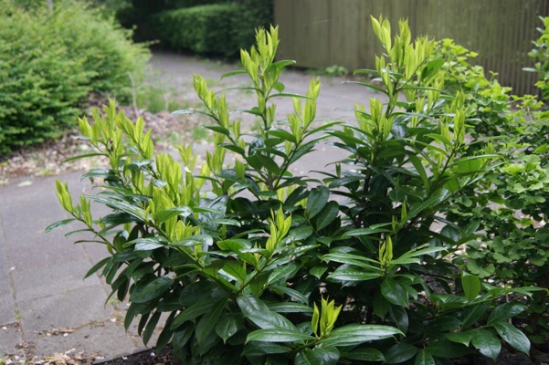 Prunus Greenfinity in garden