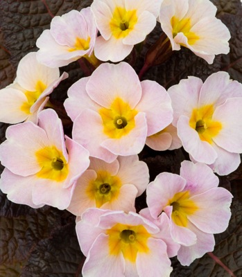 Primula Irish Primrose™ Drumcliff flower close-up