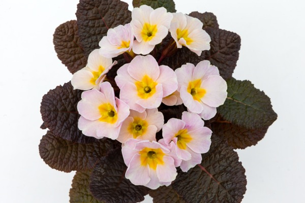 Primula Irish Primrose™ Drumcliff in pot