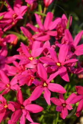 Rhodoxis Fairytale flower close-up