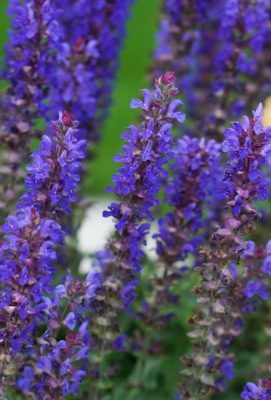Salvia Blue Bouquetta flower close-up