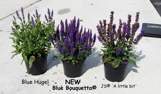 Salvia Blue Bouquetta in pot
