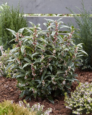 Sarcococca Winter Gem in garden