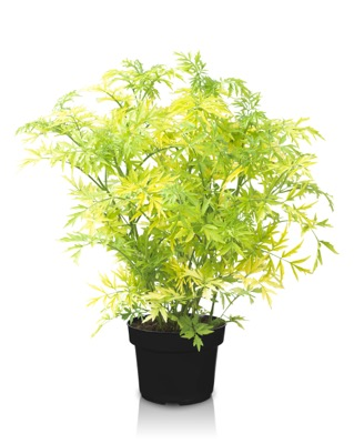 Sambucus Golden Tower in pot
