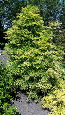 Sambucus Golden Tower in garden