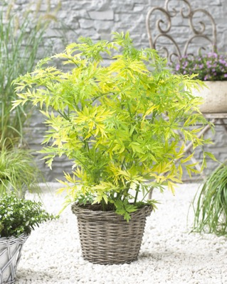 Sambucus Golden Tower on patio