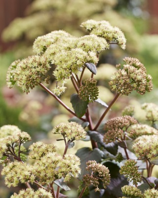 Sedum Banana Split flower close-up