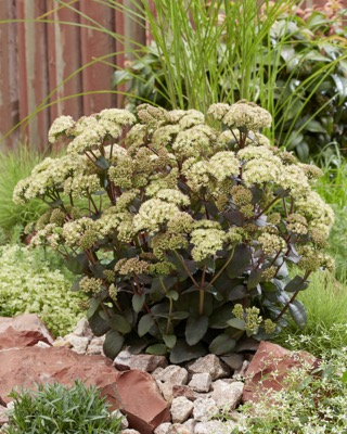Sedum Banana Split in garden