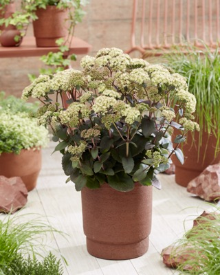 Sedum Banana Split on patio