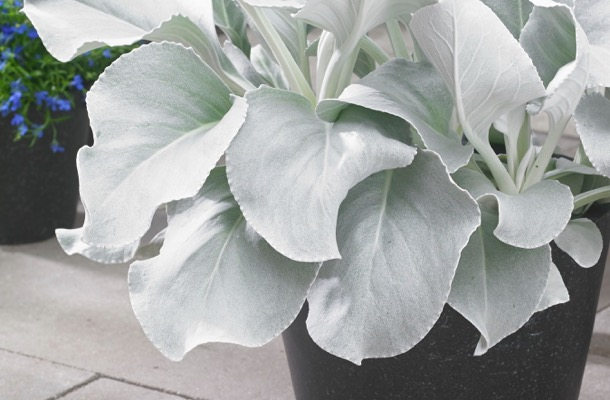 Senecio Angel Wings foliage