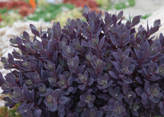 Sedum Plum Dazzled foliage close-up