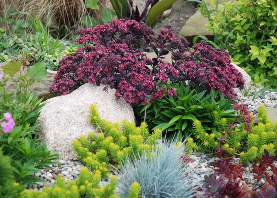 Sedum Plum Dazzled in garden