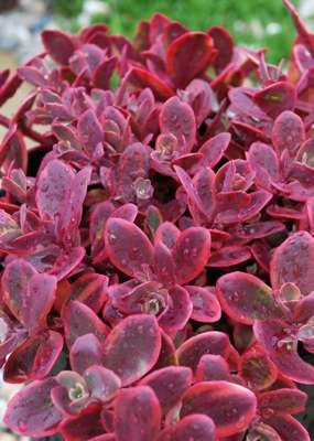 Sedum Wildfire foliage close-up