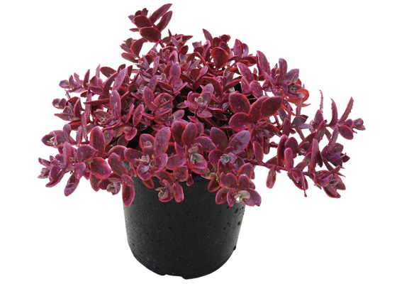 Sedum Wildfire in pot