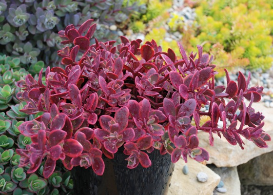 Sedum Wildfire on patio