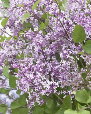 Syringa Flowerfesta Purple flower close-up