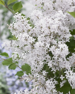 Syringa Flowerfesta White flower close-up