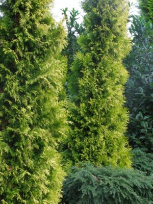 General image of Thuja Golden Spire