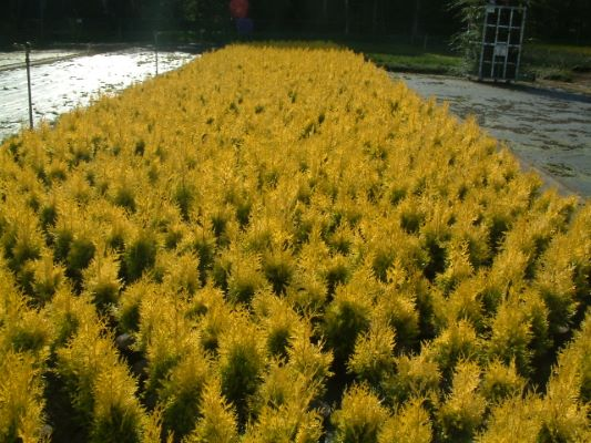 Thuja Golden Spire with nursery
