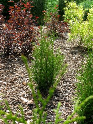 Thuja Sugar & Spice in garden