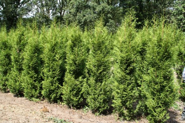 Thuja Sugar & Spice with nursery