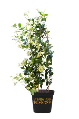 Trachelospermum Star of Toscane in pot