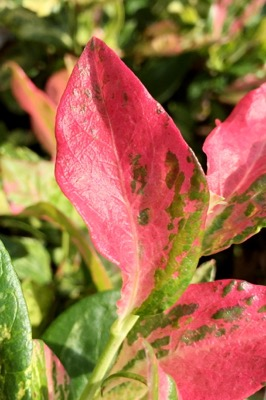 Vaccinium Flamingo foliage close-up