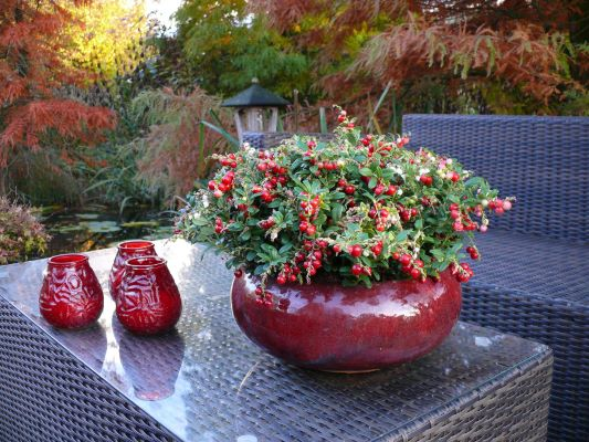 Vaccinium Red Candy on patio