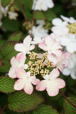 Viburnum Kilimandjaro Sunrise flower close-up
