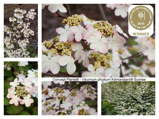 Flyer of Viburnum Kilimandjaro Sunrise